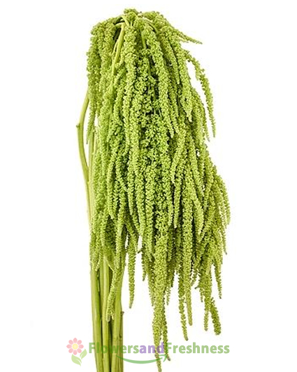 Amaranthus Green Flowers. Free Shipping!