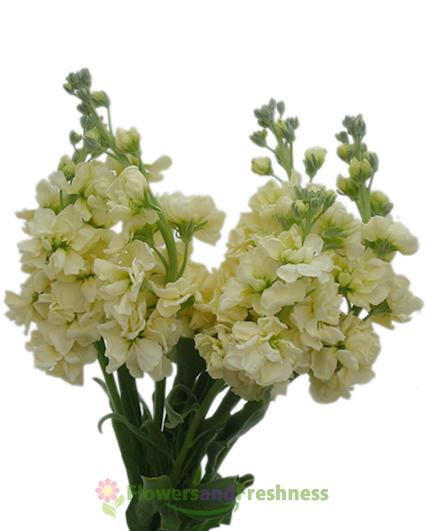 Yellow Stock Flowers Flowersandfreshness